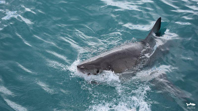 Weisser Hai Südafrika